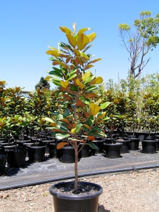 Magnolia Grandiflora Teddy Bear 16-inch pot