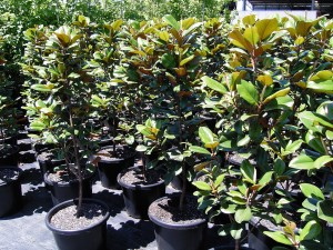Magnolia Teddy Bear stock at Robert Donato Nurseries