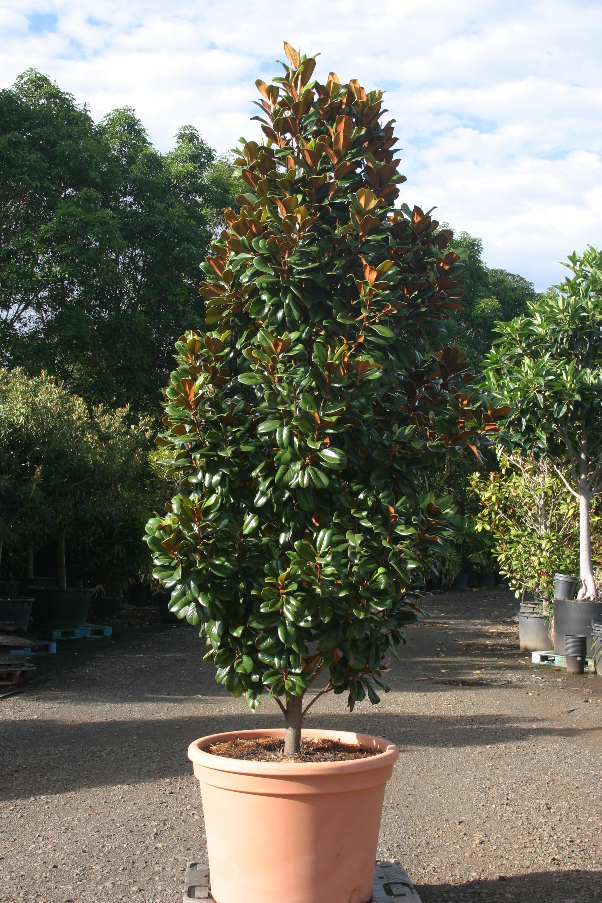 Magnolia Grandiflora Teddy Bear Robertdonatonurseries