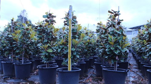 Magnolia Grandiflora Teddy Bear (October 2012)